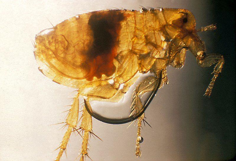 A Plague infected flea
