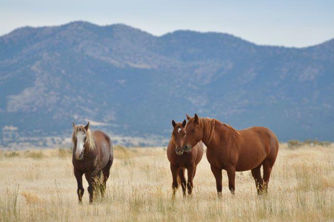 Wild Horses California