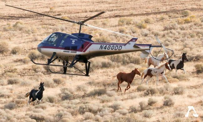California Wild Horses Helicopter