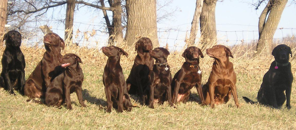 nine labs chocolate and black