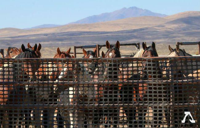 California Wild Horses