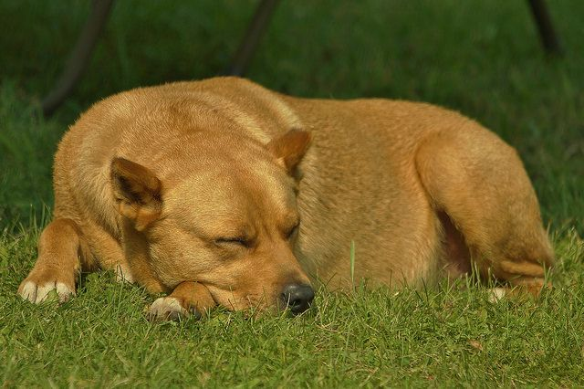 Sleeping Dog on Grass