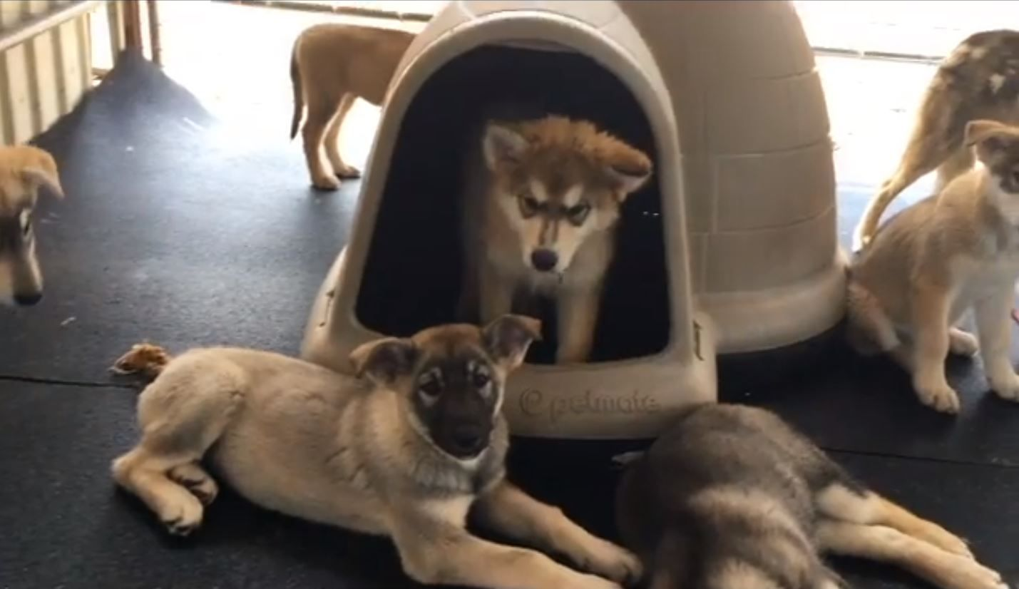 Wolf pups rescue