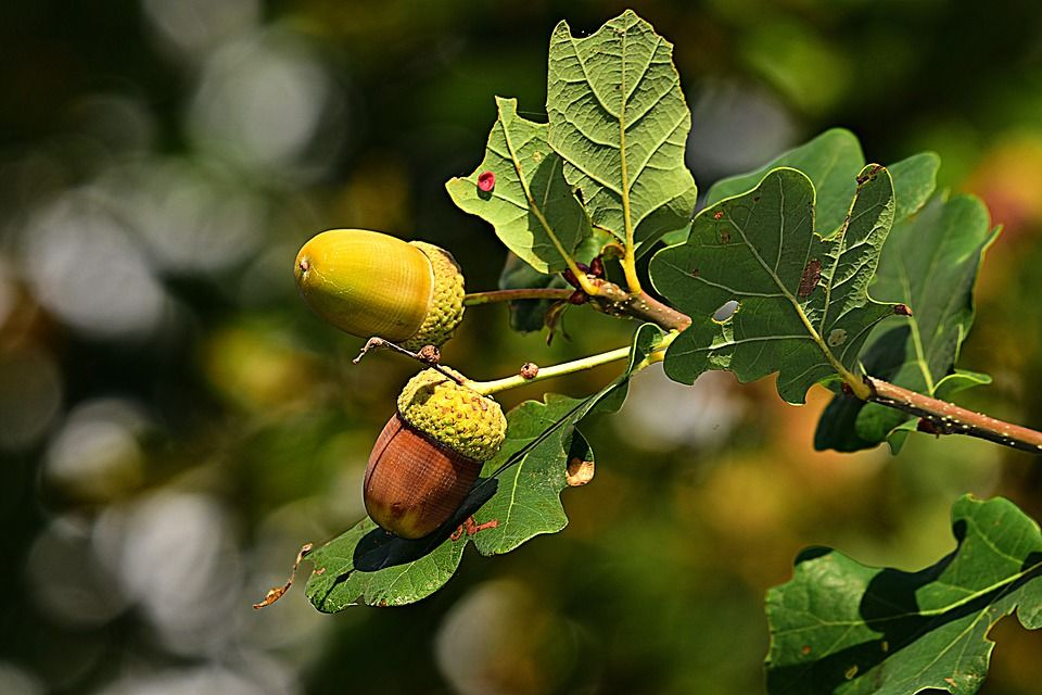 Oak tree with acorns close up