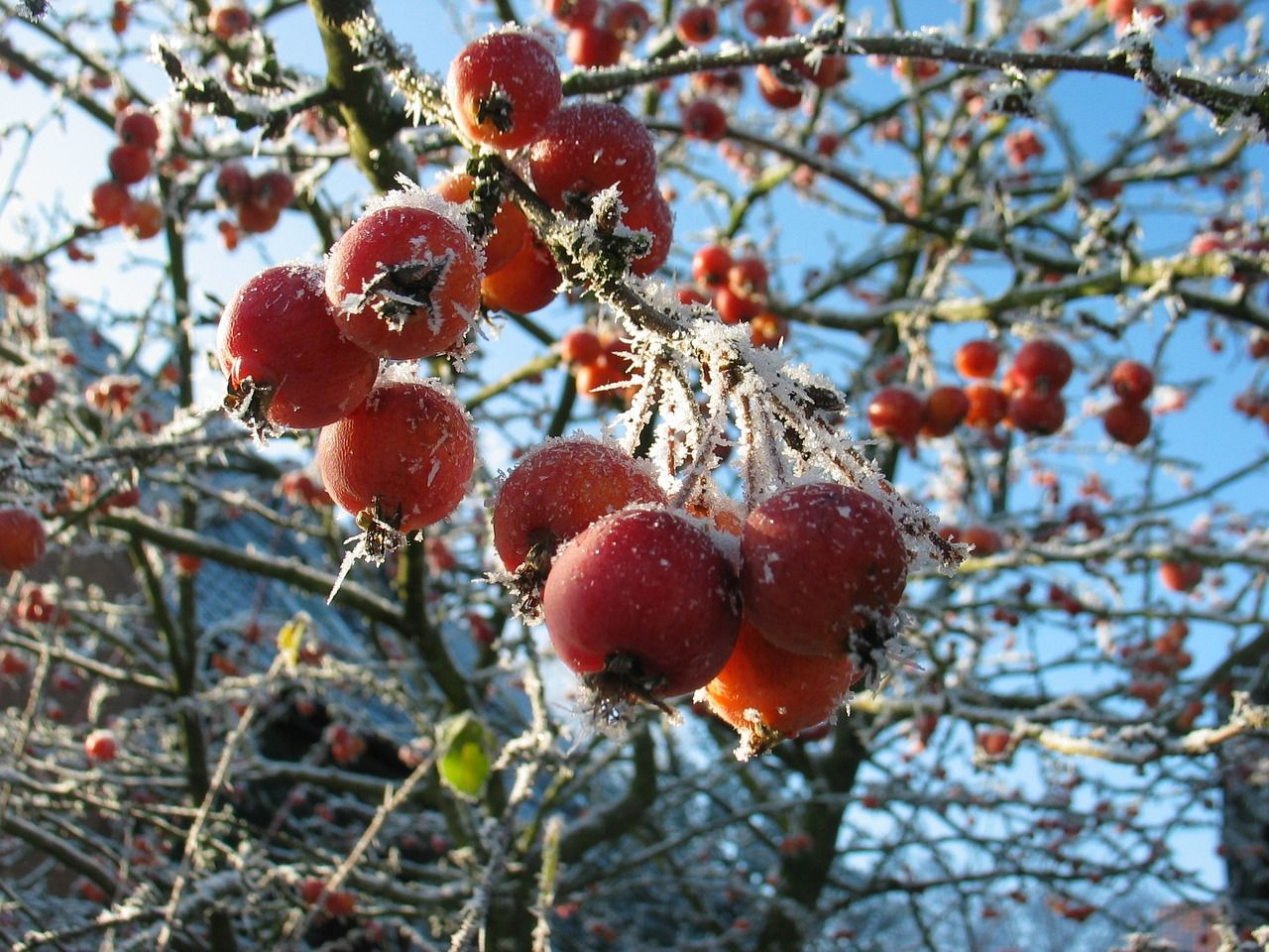 Berries after a frost