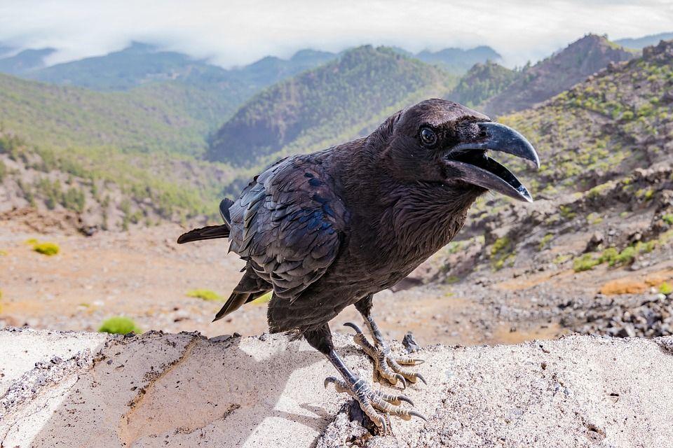 Crow on mountain