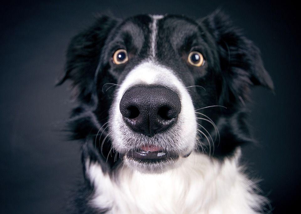 Dog raised eyebrows
