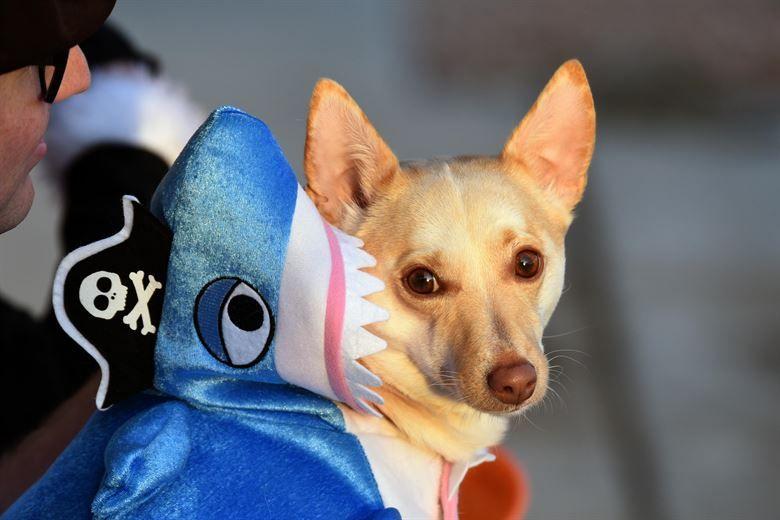 A dog dressed up as a shark