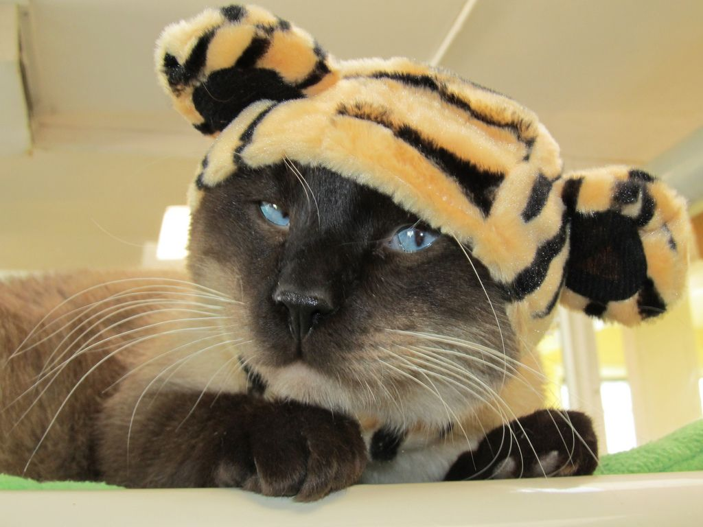 A cat with a tiger hat on