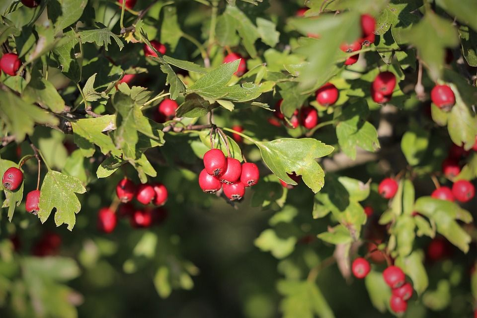Hawthorn Tree close up