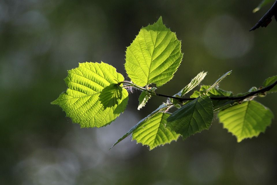 Hazel leaves up close