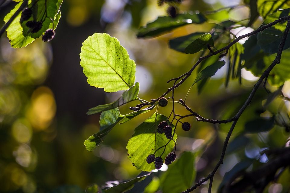 Alder tree close up