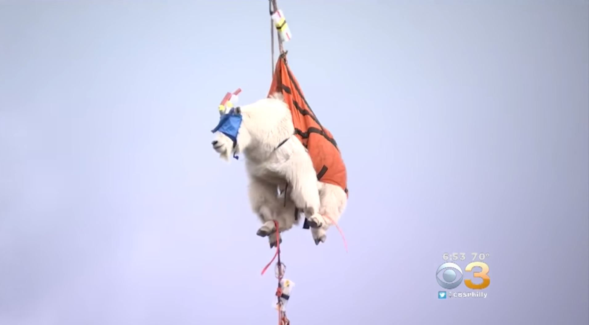 Mountain goats being airlifted from Olympic National Park