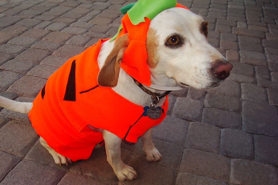 A dog dressed up as a pumkpin