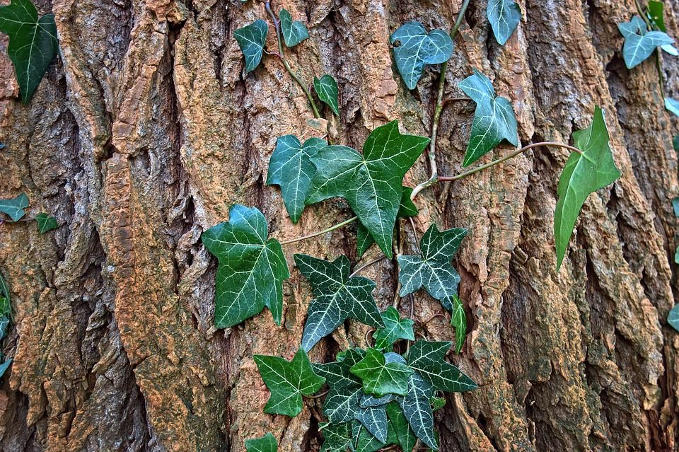 Ivy Leaves up close
