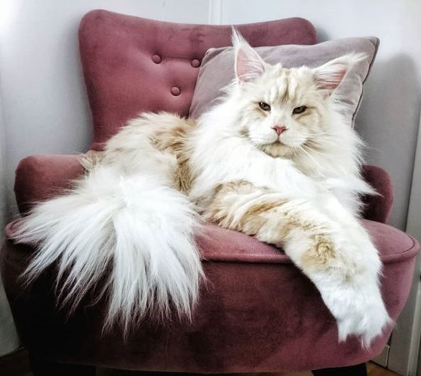 Lotus the Maine Coon - Instagram