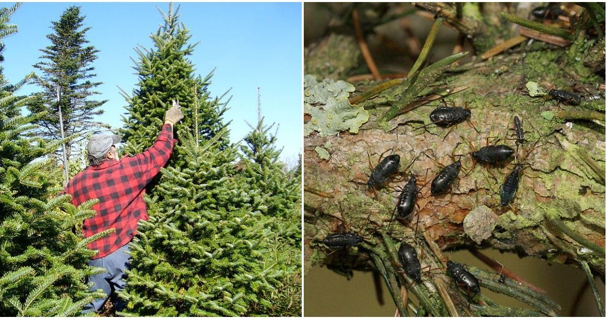 Your Christmas Tree Could Be Crawling With Bugs - Here's ...