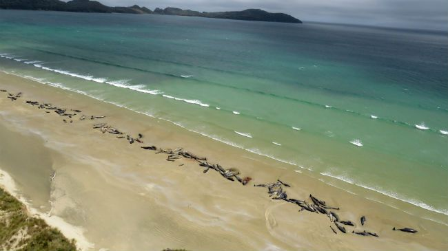 New Zealand whale stranding
