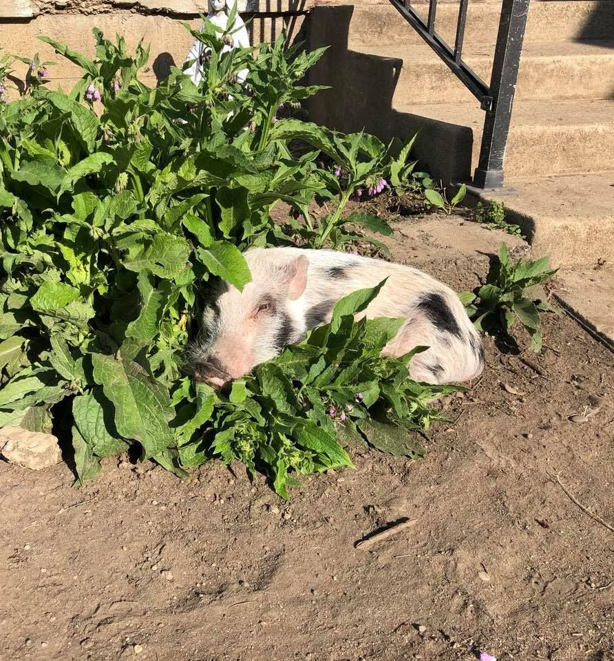 Beacon the pig in the grass