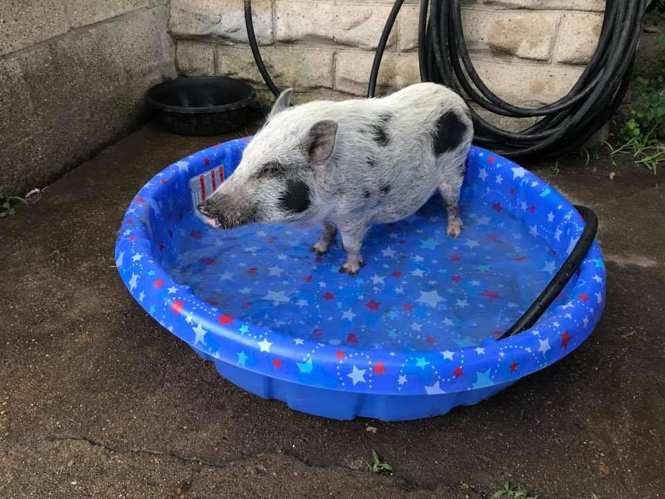 Beacon the pig in a pool