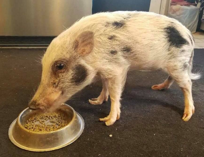 beacon the pig getting to eat