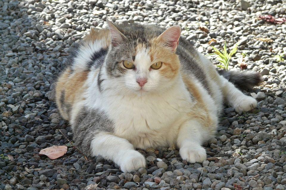 fat cat lying down