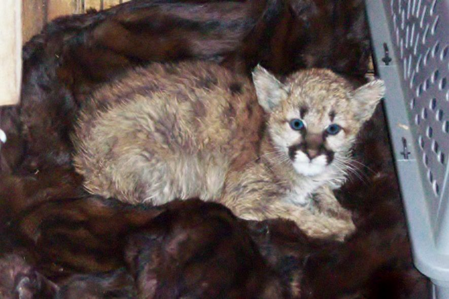 mountain lion kitten taken into home