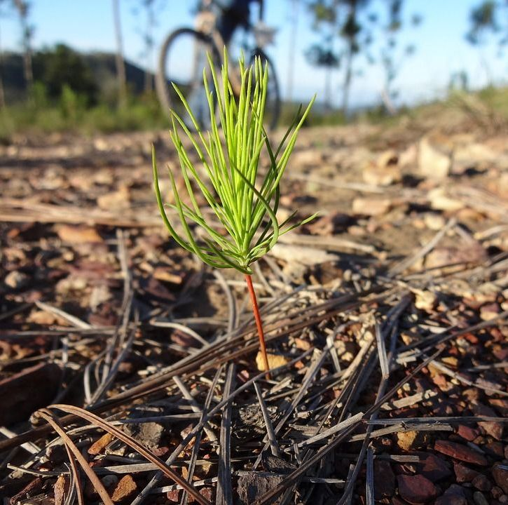 Sapling pine