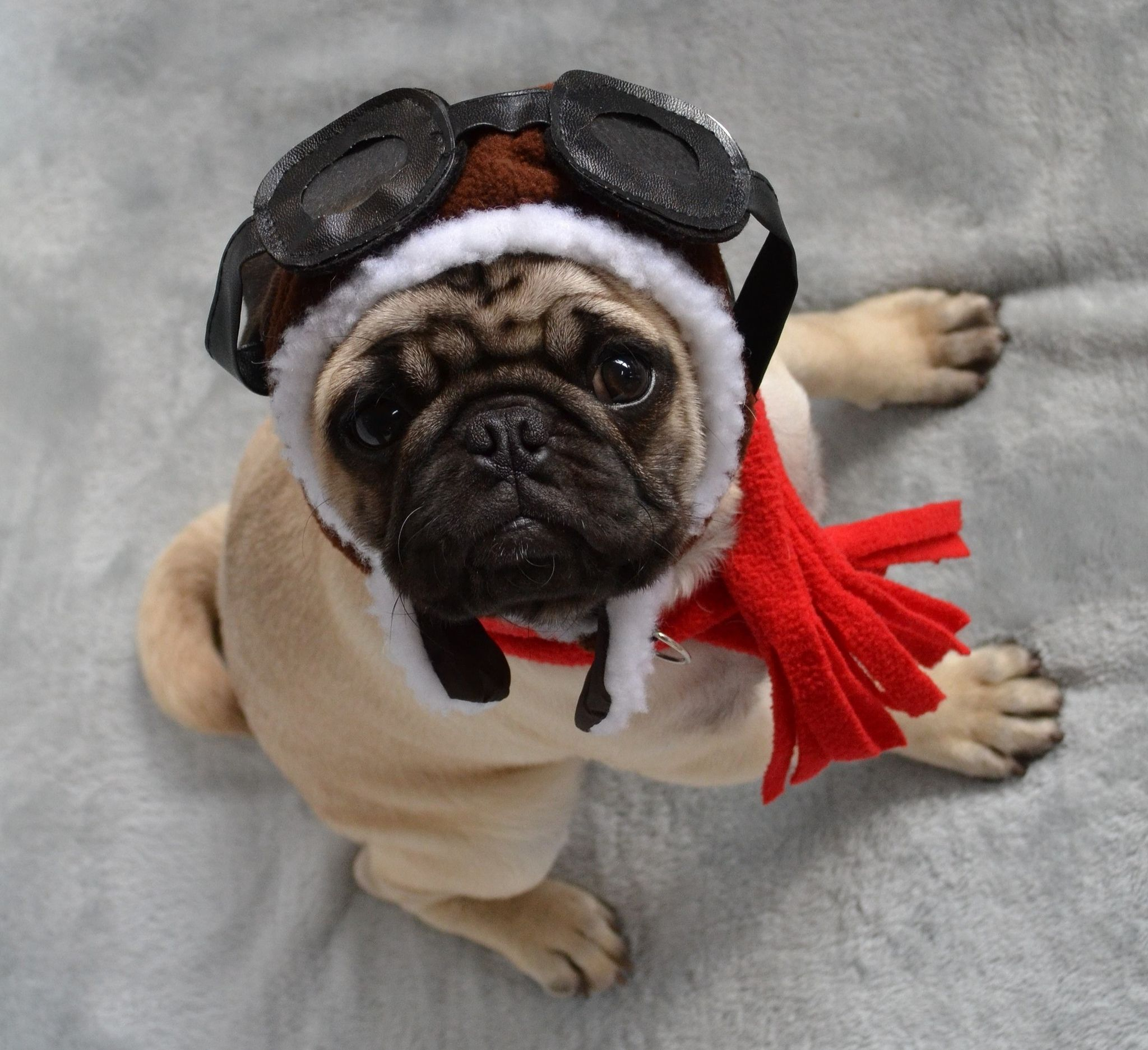 Pug in an aviator hat