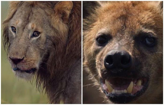 Lion Hyenas BBC