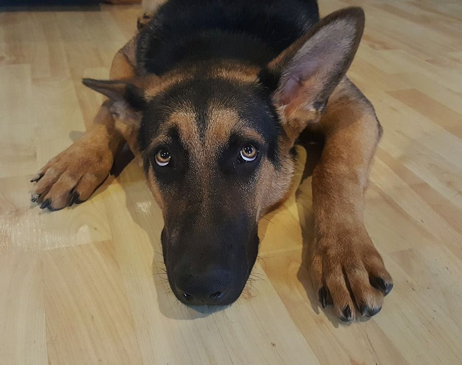 German Shepherd Scared