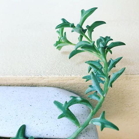 Dolphin succulent
