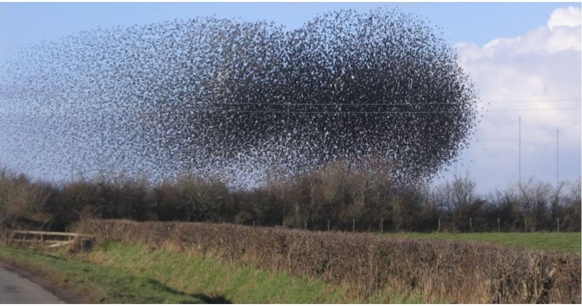 Why (And How) Starlings Fly In Huge Flocks