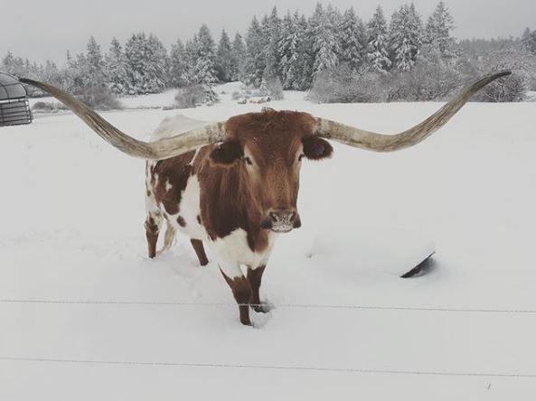 Chris Pratt cow