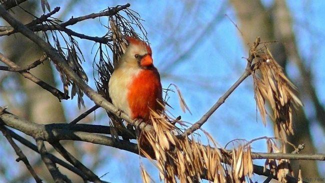 Half-sided cardinal
