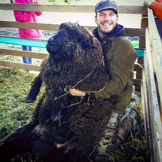 Chris Pratt sheep