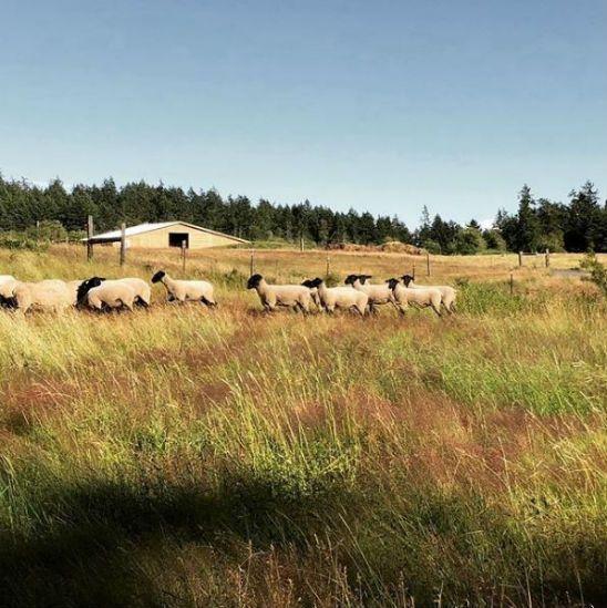 Chris Pratt sheep.