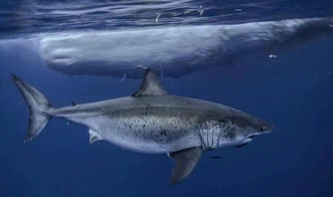 Whale carcass shark
