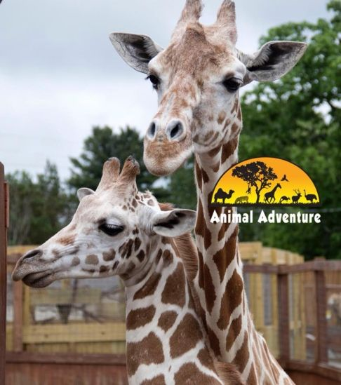 April the Giraffe Tajiri