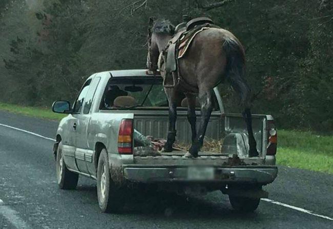 Horse pickup truck