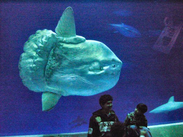 Ocean sunfish.
